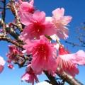 名護桜まつり©OCVB