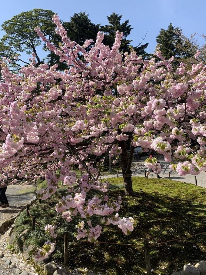 石川県の「文化財指定庭園 特別名勝 兼六園」の桜