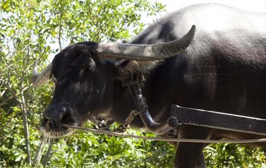 ビオスの丘 水牛